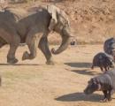 カバ「俺っちアフリカで最も危険な動物だからさ~w」 ゾウ「シュババババッ」(走ってくる音)