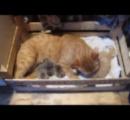 【動画】母親がいない4匹のハリネズミをネコが育てる