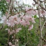 『神戸旅行 須磨離宮公園 しだれ桜・オオデマリなど』の画像