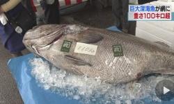 110キロの巨大深海魚 「オオクチイシナギ」鳥取沖で網に 体長1.7m 刺身だと200人前「刺身にするか鍋にするか考えたい」