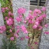 『ヨシノツツジ』の画像