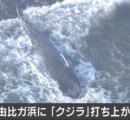 「クジラがいる」 鎌倉市の由比ケ浜の海岸にクジラ打ち上げられる