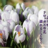 『クロッカスの花』の画像