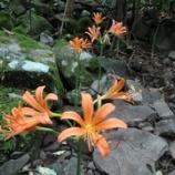 『多良岳の名花「オオキツネノカミソリ」』の画像