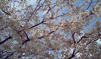 春だしお前らの綺麗な桜の画像張ってけ
