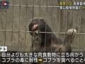 【動画】コツメカワウソさん、明らかに自分が可愛いことを自覚してる甘え方をしてしまう・・・