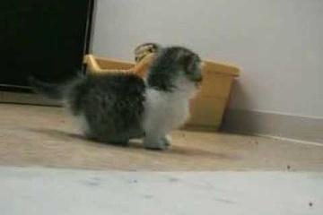 よちよち歩く…マンチカンの子猫