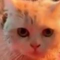 ネコが「毛づくろい」をしていた。モワワ~ン♪ → お風呂上がりにこうなります…