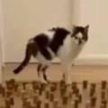 【ネコ】 廊下に「コルク栓」をいっぱい並べてみた。何本ぐらい倒すのかな? → さすが猫ですね…