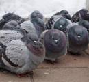 札幌のハトは本州より丸い? Twitterで話題の一枚、専門家に見解を聞くと...