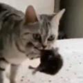 母ネコが子猫を咥えて寝床にやってきた。ハンデなんて気にしない → 自慢のママはこちらです…