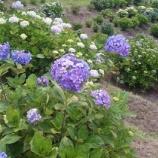 『今日の栗林☆(紫陽花)』の画像
