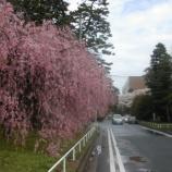 『東北大学の桜』の画像