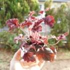 『【ピノ子日記】ヒューケラの苗を買いました。』の画像