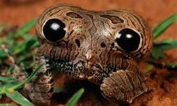 【画像】珍生物!と思ったらカエルのお尻だった、目玉模様で捕食者を威嚇、毒も出せる