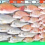 湾内はハイカラ釣りでマダイ、キビレ、ヒョウゴなど!沖は昼前から波で苦戦