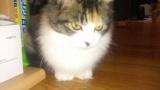 ワイの飼ってる猫が首周りとか通常よりフサフサなんやが(※画像あり)