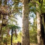 『自然のカウリの原生林』の画像