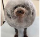 まんまるにトリミングされた犬が海外で話題に