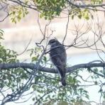 お城と淀川の鳥撮り記