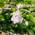 『林檎畑』の画像
