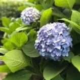 『紫陽花が見頃に!戸田公園駅北側・まんようの花のみち』の画像
