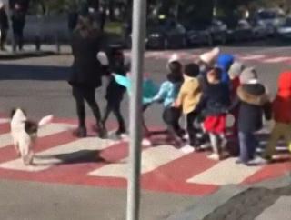 今から子供たちが渡るからな!ドライバーに注意を促し、横断歩道を一緒に渡る野良犬
