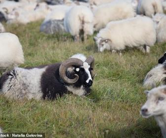 【研究】12頭に1頭の割合の羊がゲイであるため効率よく交配できないと専門家:繁殖を拒否したゲイ羊は屠殺場へ