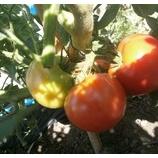 『今年の店裏菜園』の画像