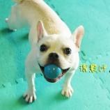 『ボールをこよなく愛すフレブルちゃん☆』の画像