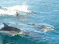 【衝撃】イルカがフグ毒を経口摂取してトランス状態になって遊んでいることが判明