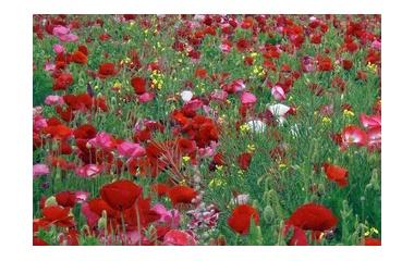 『野原一杯の花』の画像
