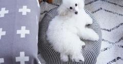 【トイプードルパピー犬】くぅちゃん今日手術しました。