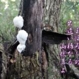 『山伏茸よ』の画像