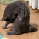 不思議なポーズ/ツマグロヒョウモン羽化