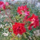 『今シーズン最後のバラ & 植え替えの準備』の画像
