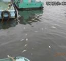 隅田川、魚3000匹死ぬ 水中の酸素不足か