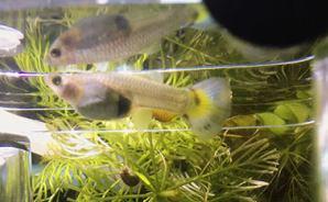 水草の森にグッピーの稚魚を確認