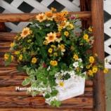 『ジニアとサンビタリアの寄せ植えをふんわり維持するコツ』の画像