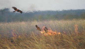 火を使って狩りをする鳥の存在が確認される