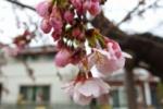 もう桜が咲いてる!『青年の家』のところ~3/16頃から開花してて只今一分咲き!~