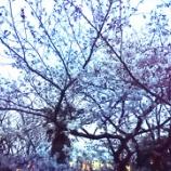 『'2016お花見🌸~桜 さくら サクラ』の画像
