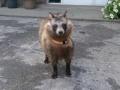 【画像あり】 じいちゃんが山で拾ってきた犬がなんかおかしいwwwwwwww