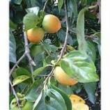 『身知らず柿』の画像