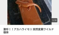 【朗報】たかがアカハライモリが15万で落札される
