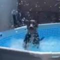 【イヌ】 今日は暑いので犬をプールに入れてみた。わ~い、ヒャッハー! → このはしゃぎっぷりです…