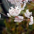 『京都のサクラ見物 祇園の豆腐料理 自炊の献立』の画像