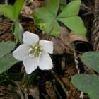 『春の里山に咲く ミヤマカタバミ』の画像
