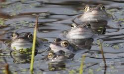 両生類の致死的な感染症の原因真菌「カエルツボカビ」は朝鮮半島原産、両生類の国際取引禁止を呼び掛け研究