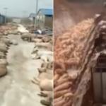 【動画】中国、アフリカ豚コレラ制御不能な状況!道端に豚の死骸が大量放置される [海外]